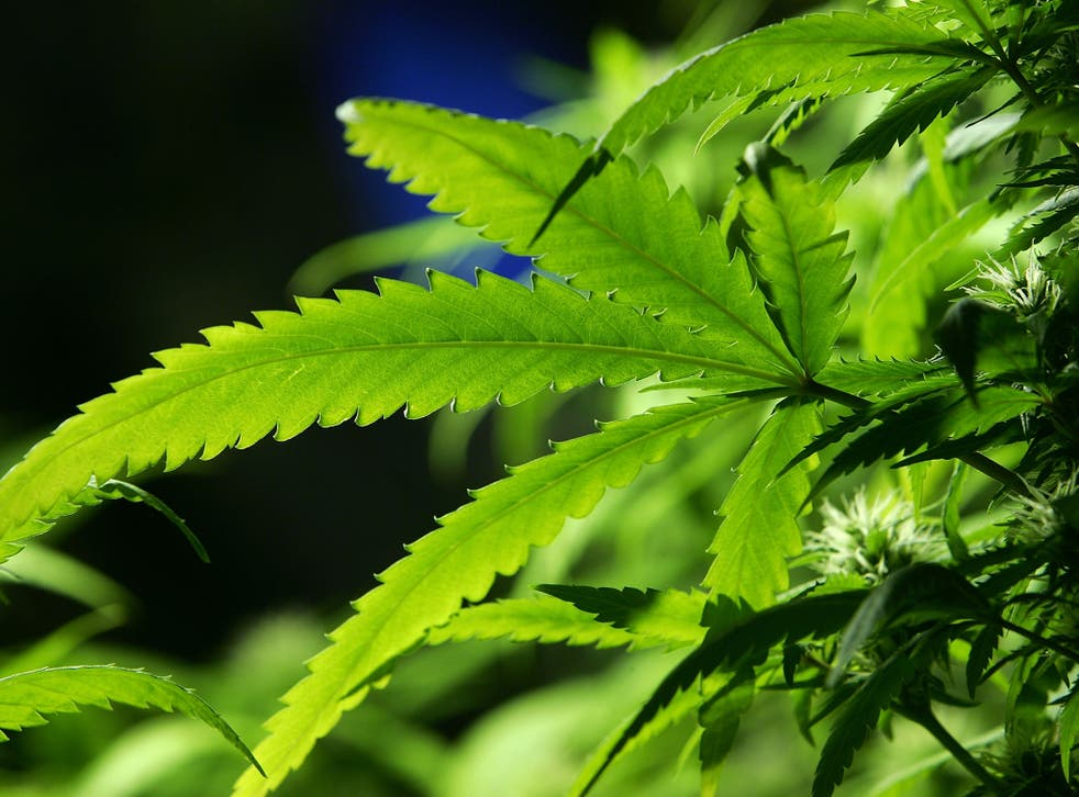 The findings over the Atlantic come as the UK government faces mounting pressure at home to legalise cannabis