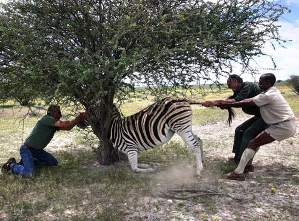 Drugged zebra gets stuck in a tree in example of a fieldwork fail