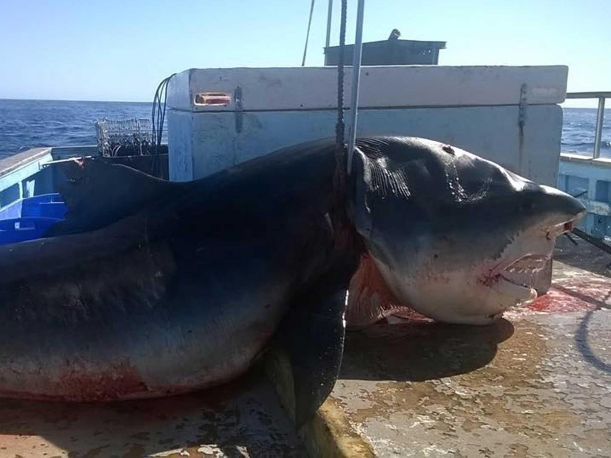 Dead shark picture: Questions remain over Facebook images of enormous shark caught off Australian coast