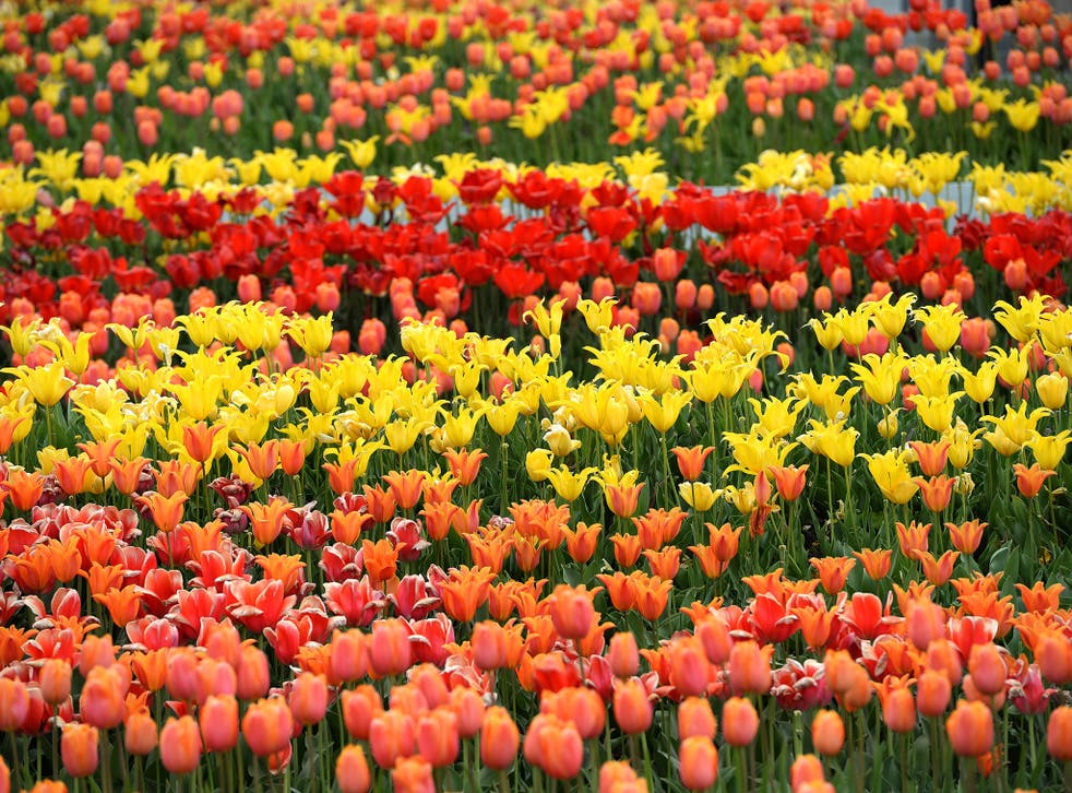 Russia has burned Dutch flowers over fears they are infected