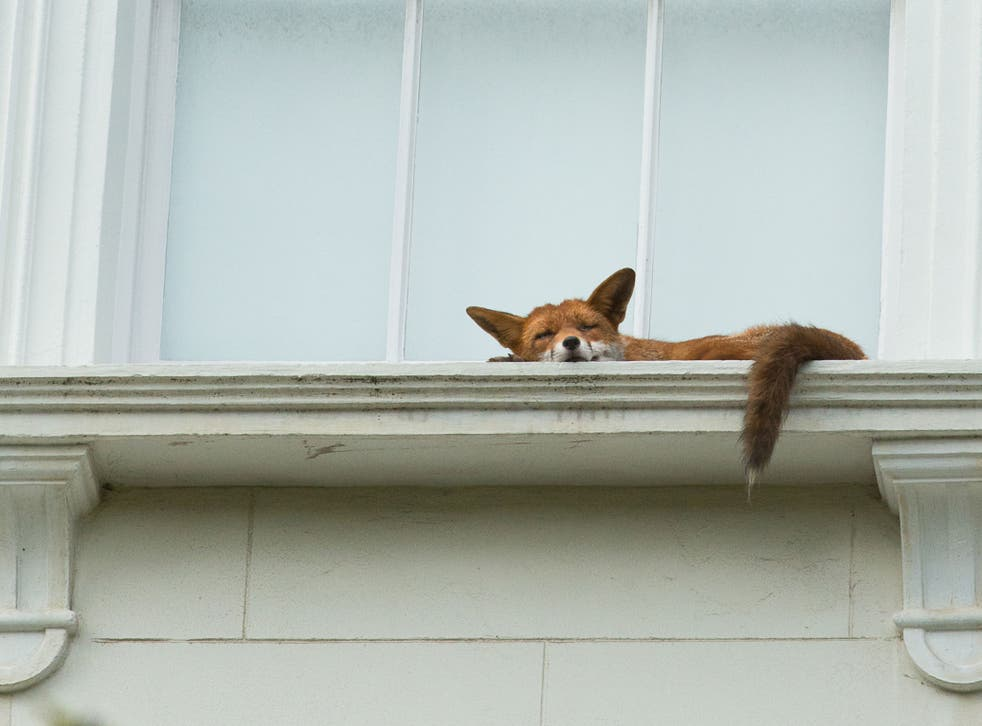 The fox was napping on a second-floor window in Notting Hill