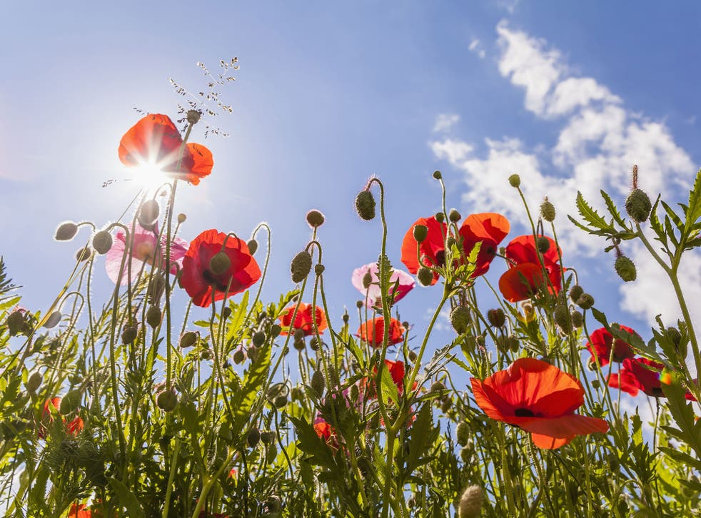 The chemical precursors for making morphine and heroin have been produced by genetically-engineered microbes rather than poppy plants for the first time