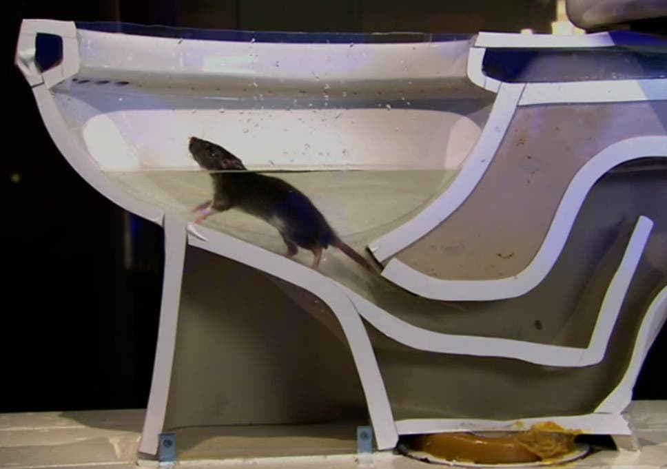 Watch how easy it is for a rat to climb through drain pipes and up ...