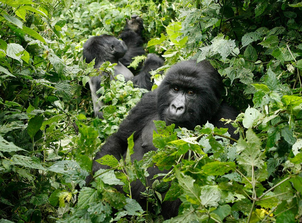 Precious Primates: The gorillas of Uganda are a major draw