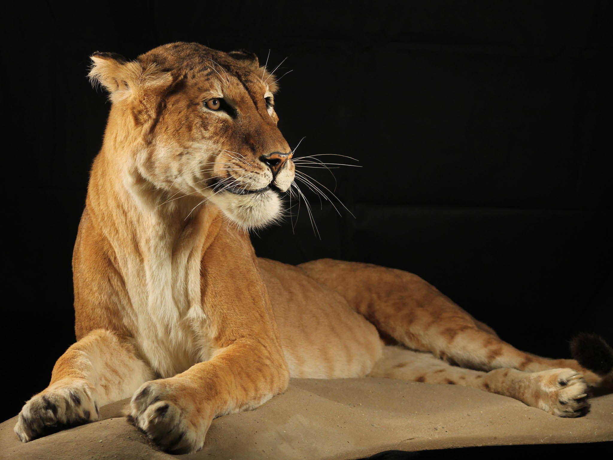 Maude the Tigon: Rare cross between tiger and a lion goes on display at Manchester Museum