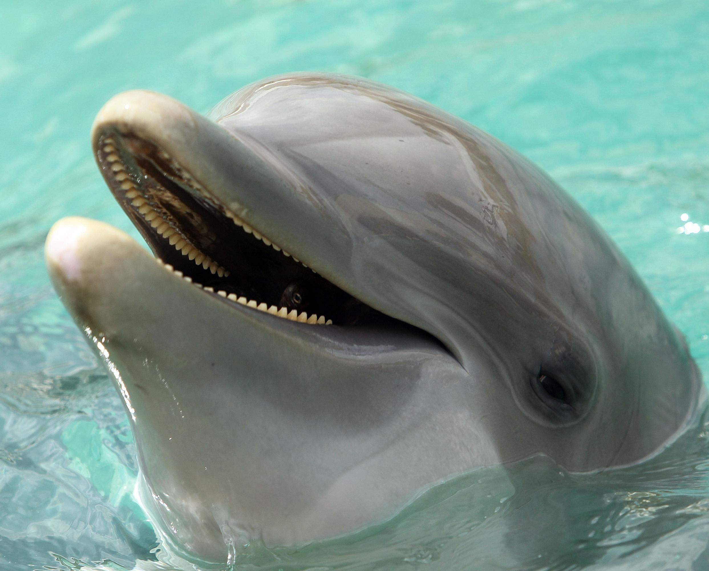 Scientists discover dolphins can speak almost like humans the scientists discover dolphins can speak almost like humans the independent aljukfo Image collections