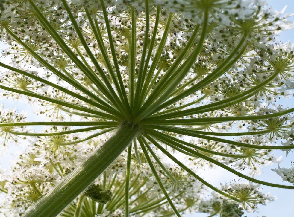 This non-native giant hogweed, or cow parsnip, is one of the many species that has thrived in Britain