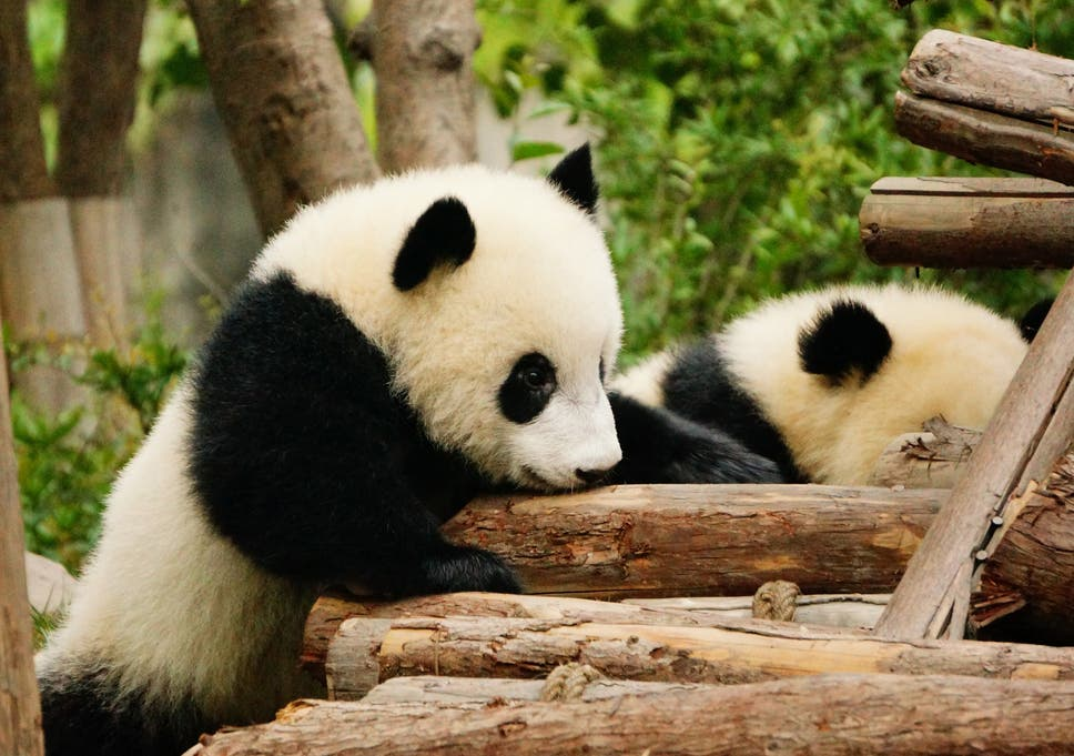 Scientists Say They Have Decoded Panda Language The Independent