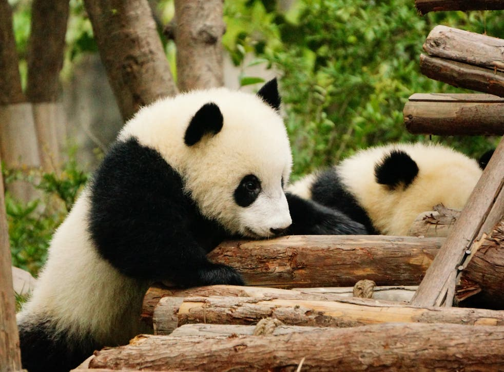 Baby pandas playing at the China Conservation and Research Center for the Giant Panda