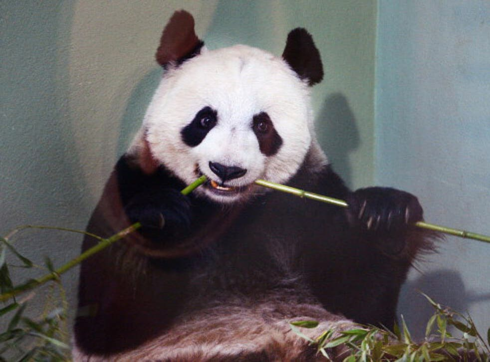 Tian Tian will not be giving birth in the next month