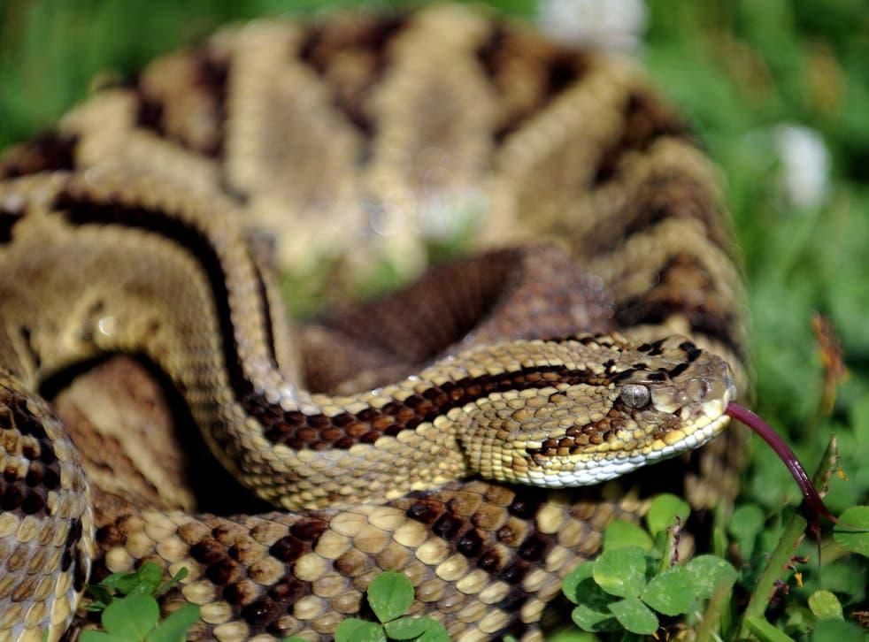 File image: Rattlesnake