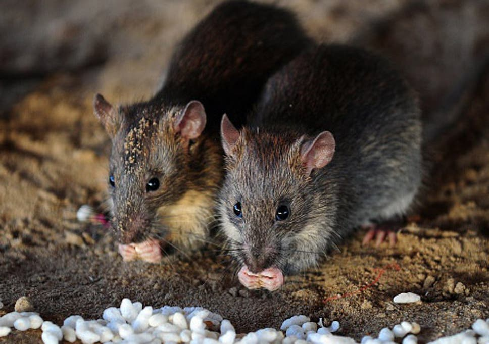 Newborn Baby Dies After Being Attacked By Rats In Hospital The Independent