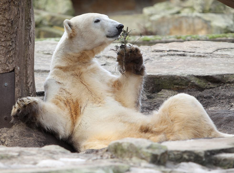 Knut the polar bear, who drowned in 2011 in his outdoor enclosure