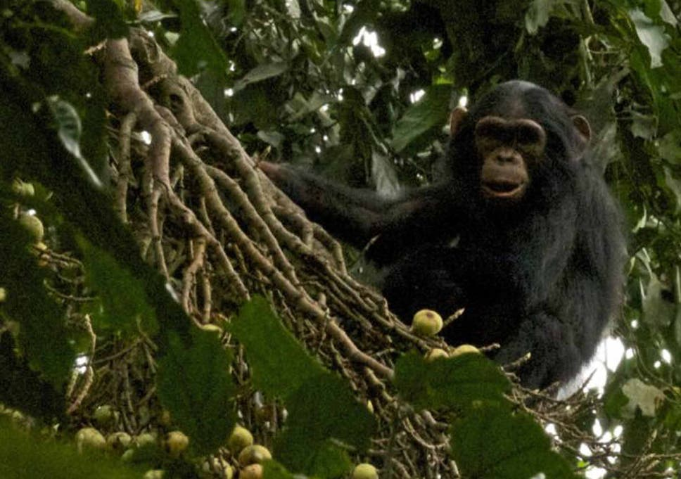 Researchers observe chimpanzee mother and sister caring for