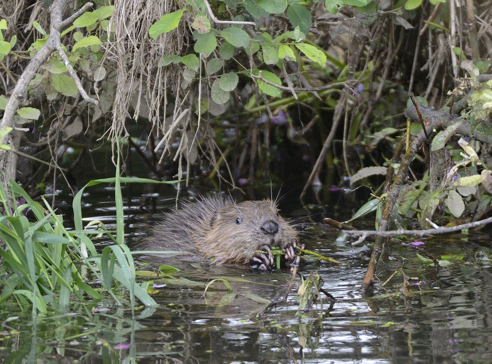 A wild beaver: the animals are said to be 'unpredictable'
