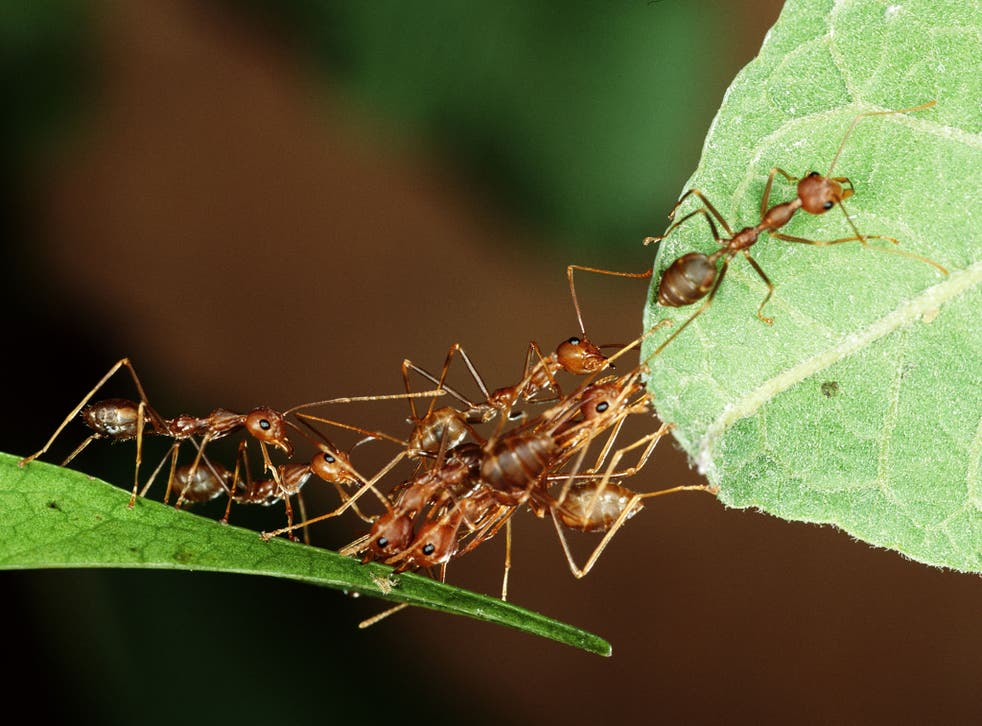 Weaver ants, which prey on small insects