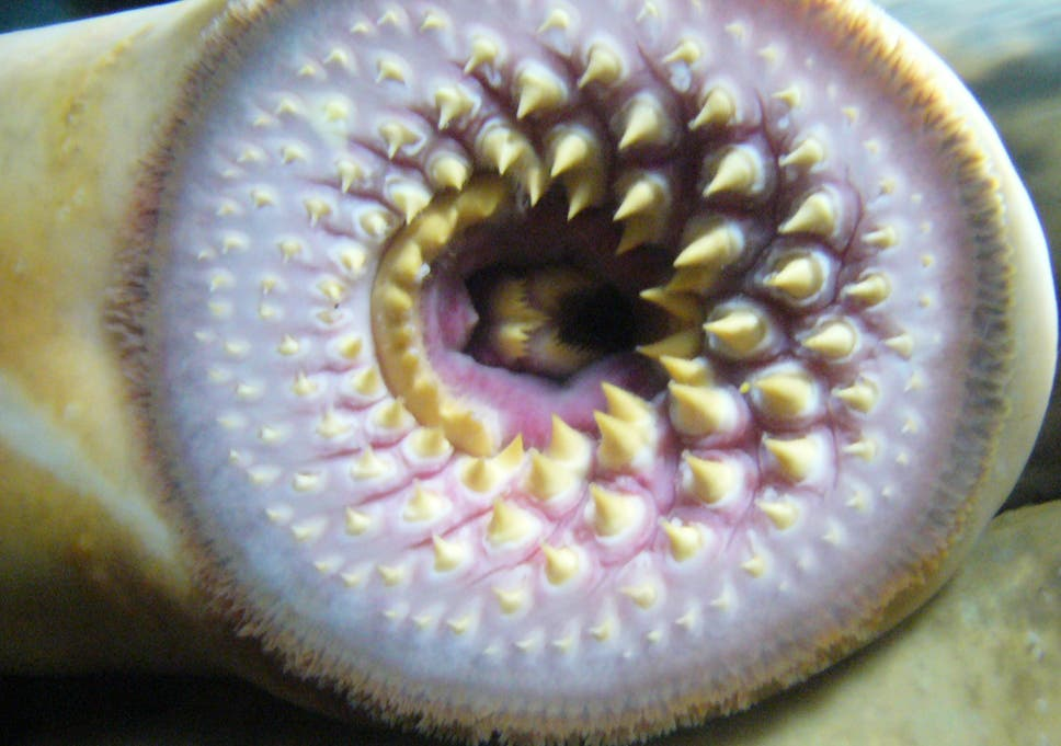 Lamprey Fish Prehistoric River Monster Has Returned To British