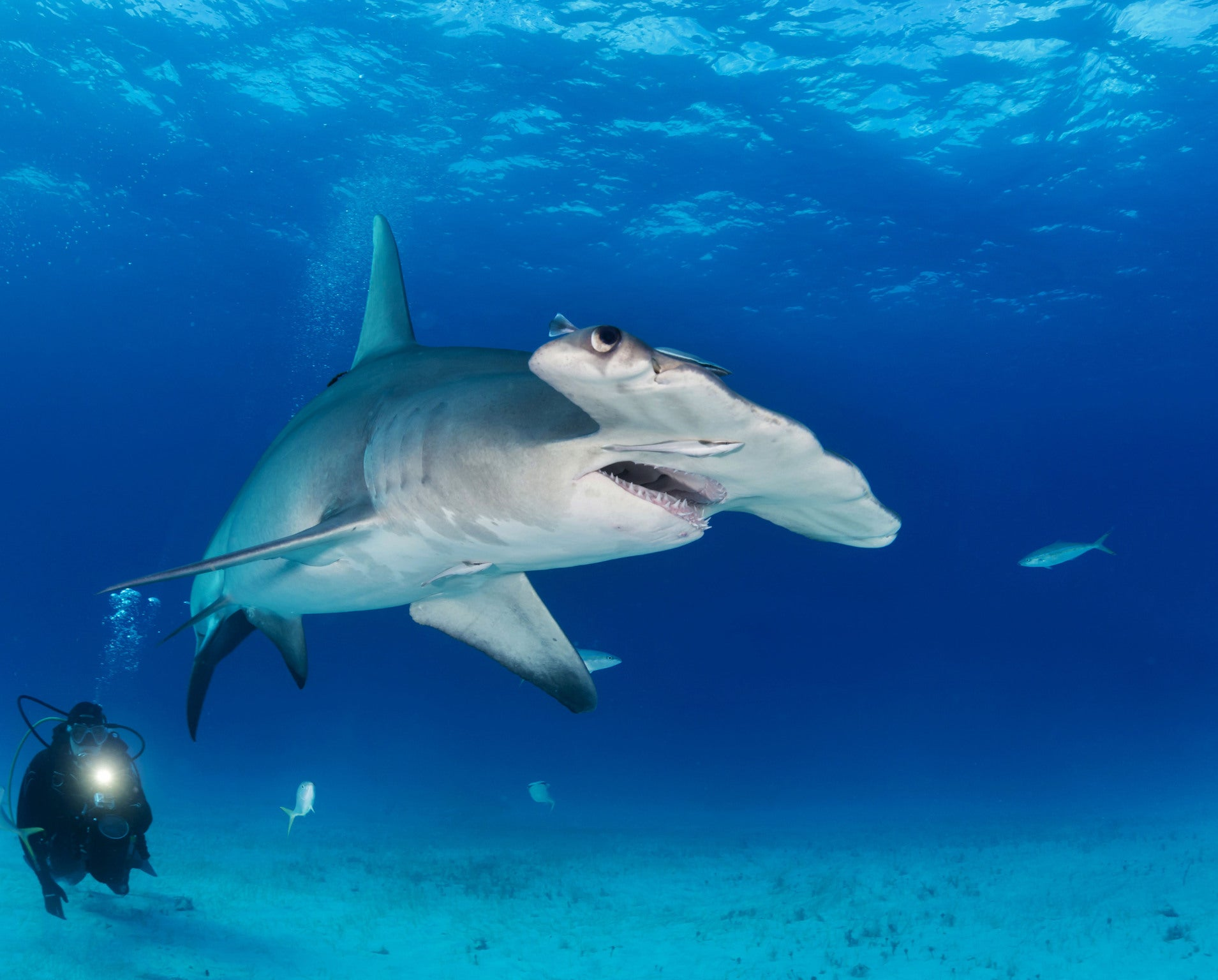 great hammerhead shark pictures - HD1909×1536