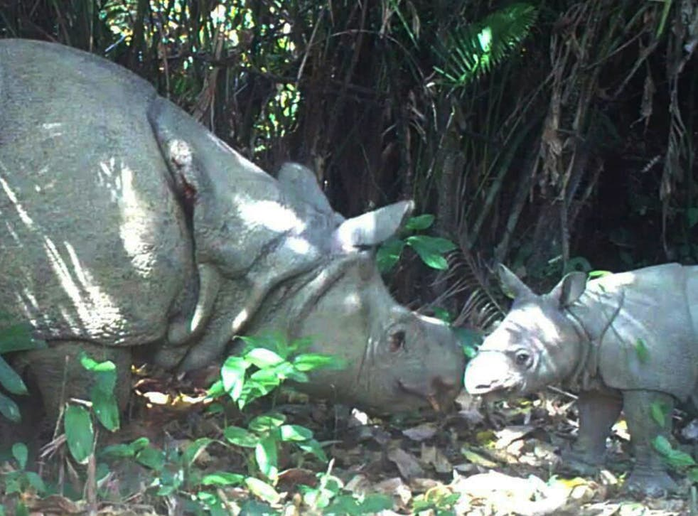 Officials said two male calves and one female had been filmed at Ujung Kulon national park