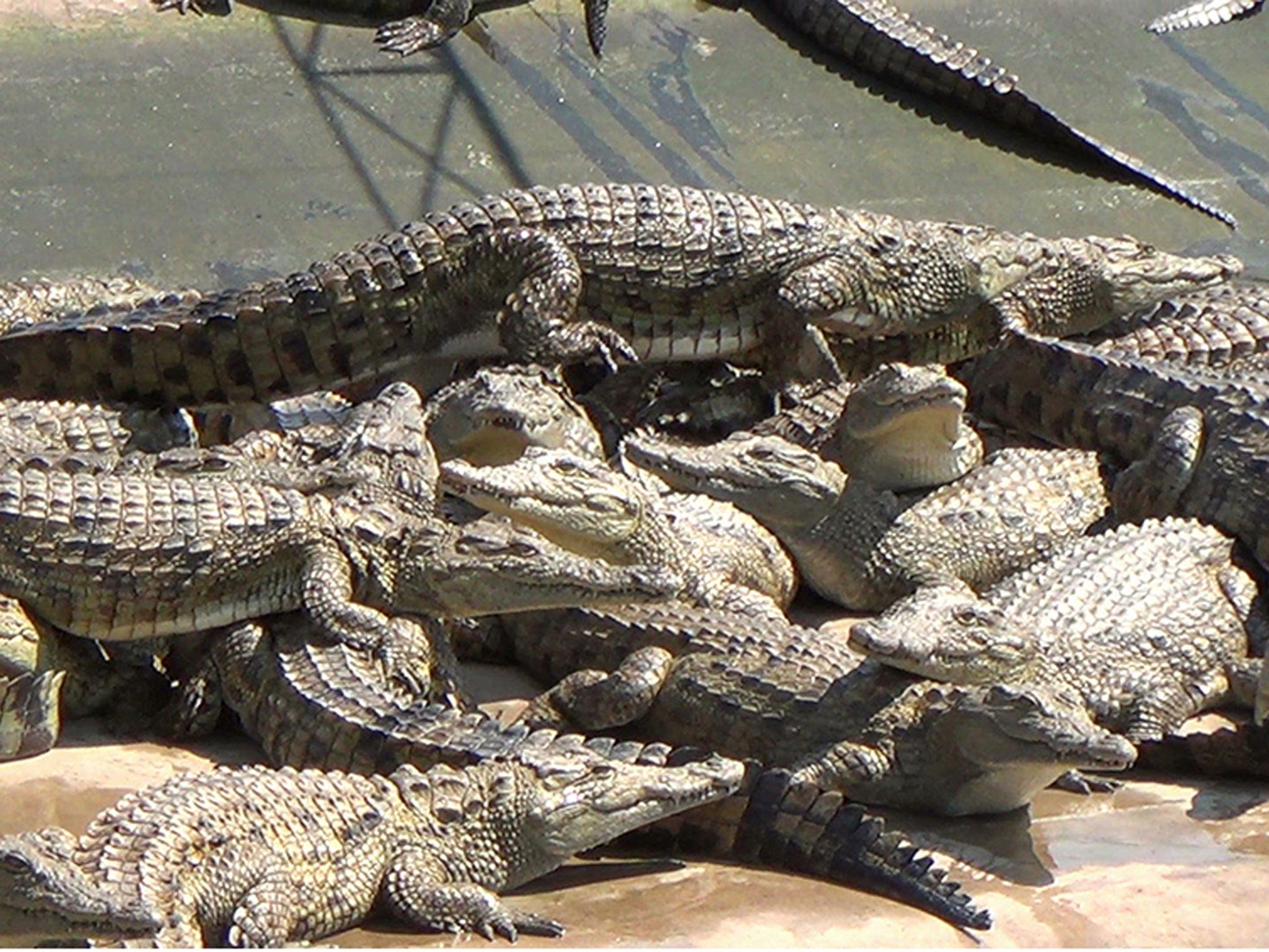 Honduras Latest News Breaking Stories And Comment The Independent Cut Engineer Crocodile Safety Steel Genuine Leather Brown 10000 Crocodiles Starving To Death On A Farm In