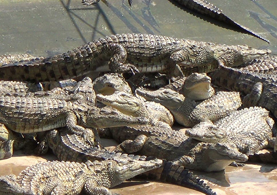cda0c259f Hermès uses crocodile farms in Texas and Zimbabwe and insists that best  slaughter practices are respected