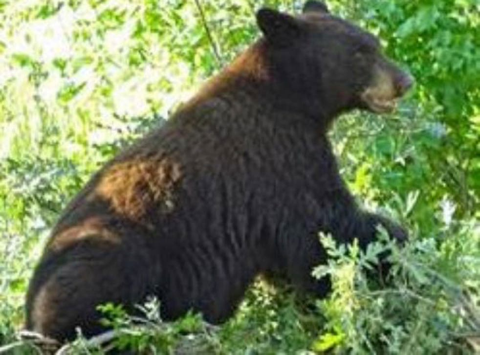 There are large numbers of bears and other wildlife in Waterton Canyon
