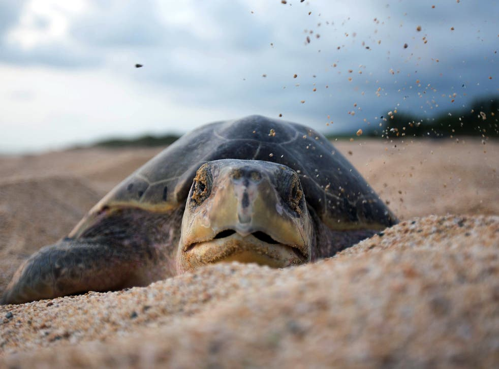 Results of a new study indicate that approximately 52 per cent of turtles worldwide have eaten debris, either dumped in the oceans by humans or swept out to sea