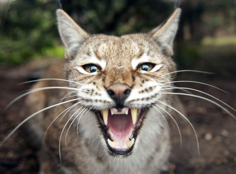 A lynx, similar to the one pictured, escaped from its enclosure