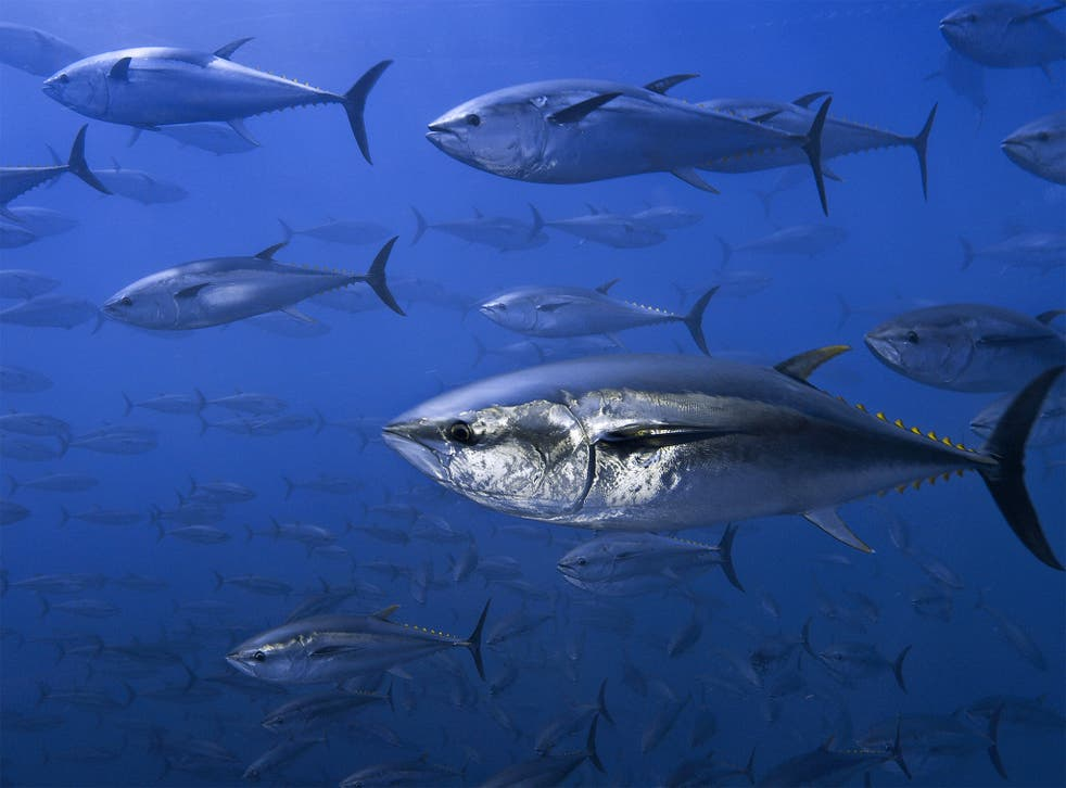Northern bluefin tuna off the coast of Spain
