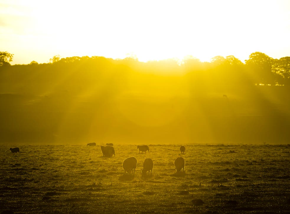 Early morning sunlight warms sheep as they graze in a field