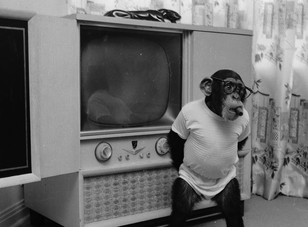 A Chimpanzee wearing human clothes and a cigar in its mouth, standing in front of a TV