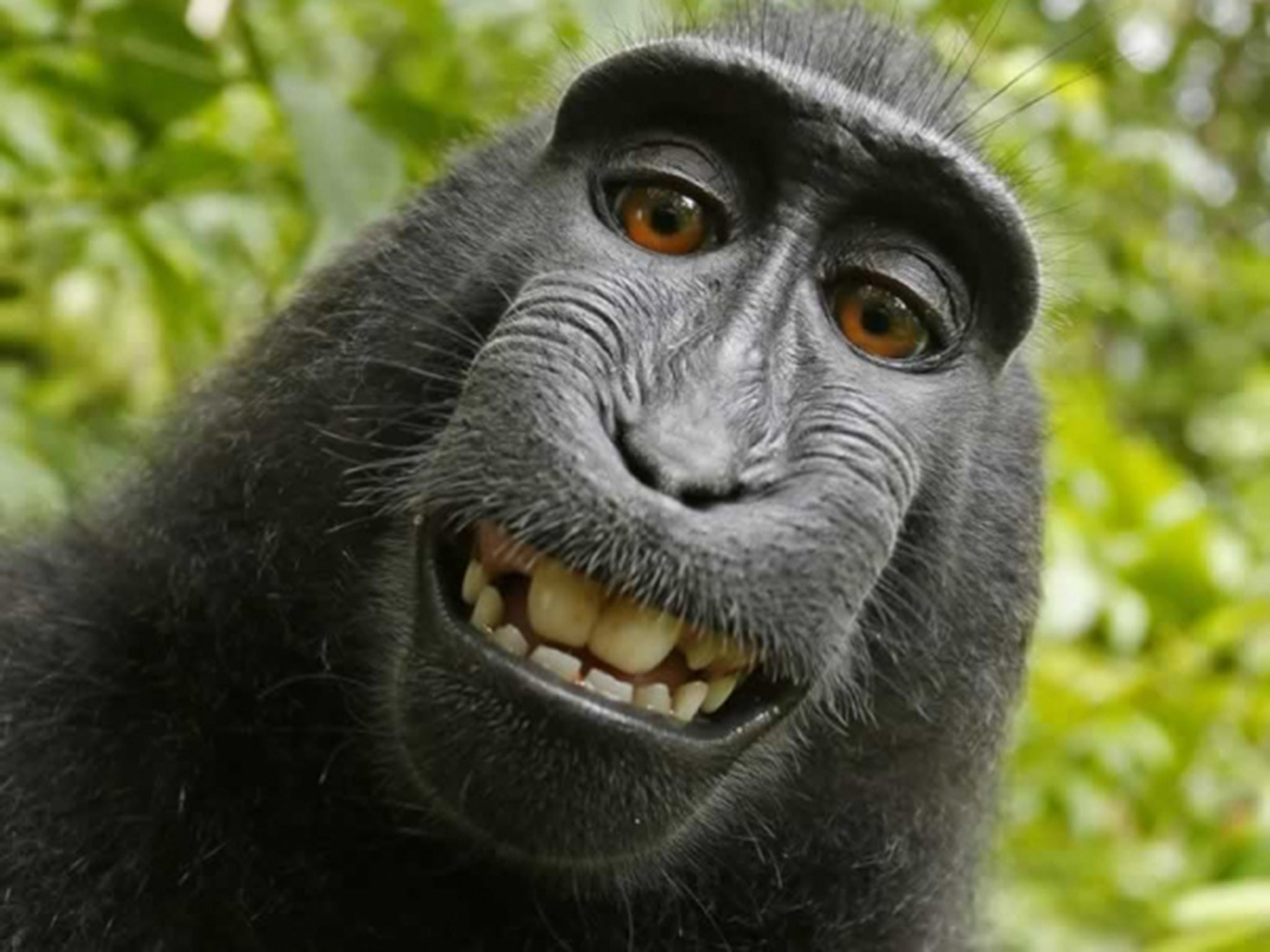 Monkey selfie: Judge rules macaque who took grinning photograph of himself 'cannot own copyright' | The Independent
