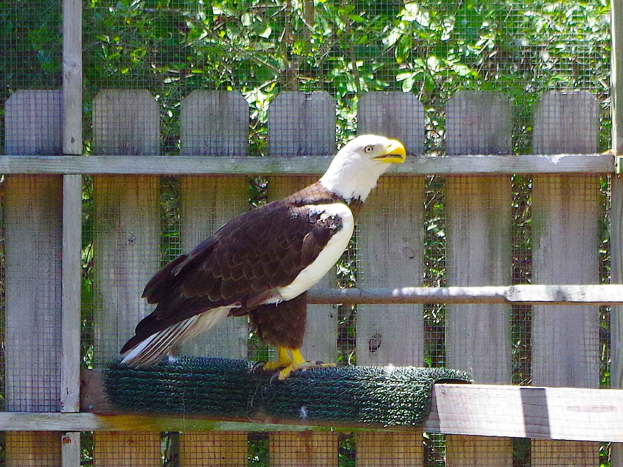Ozzie the bald eagle how a webcam celebrity to millions died ozzie the bald eagle how a webcam celebrity to millions died fighting for his love the independent biocorpaavc