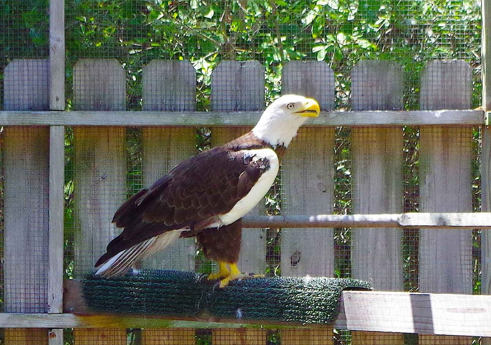 Ozzie The Bald Eagle How A Webcam Celebrity To Millions Died