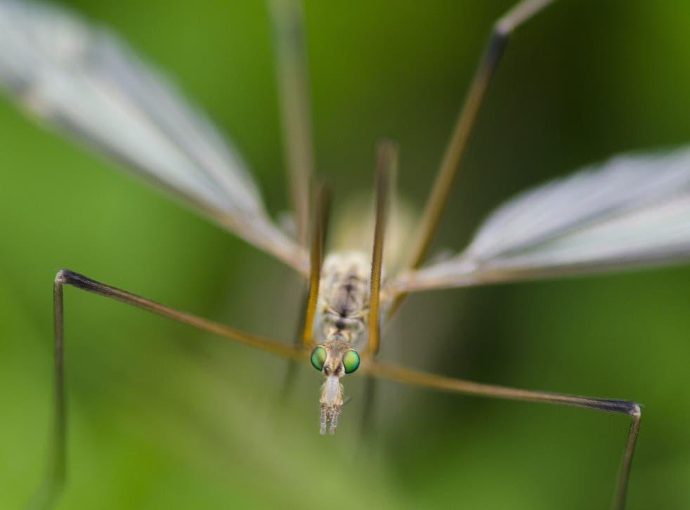 Crane flies do best in warm, autumnal climates