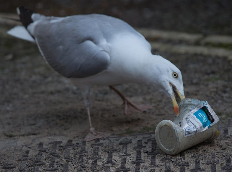 A seagull eats a food container in St Ives. Up to 99 per cent of seabirds will have plastic in their stomachs by 2050