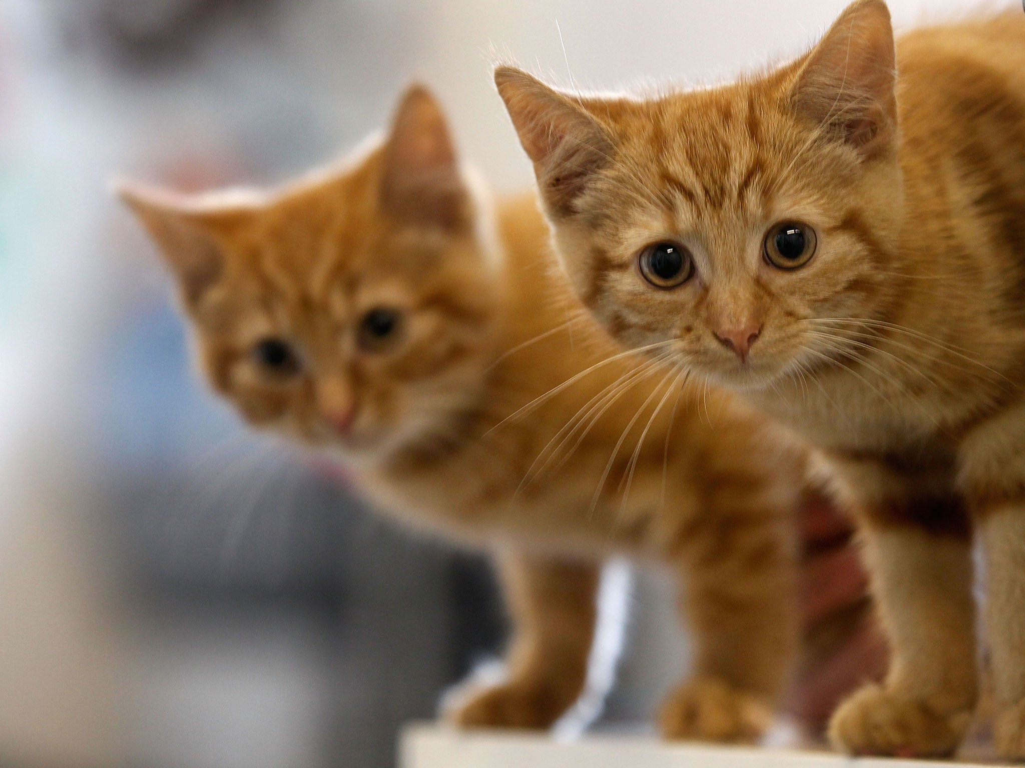 cat scratch disease cuddling a kitten could kill you study finds