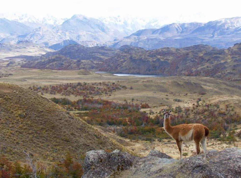 A male guanaco in Parque Patagonia