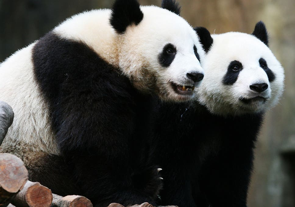 Image result for PANDAS ARE NO LONGER endangered