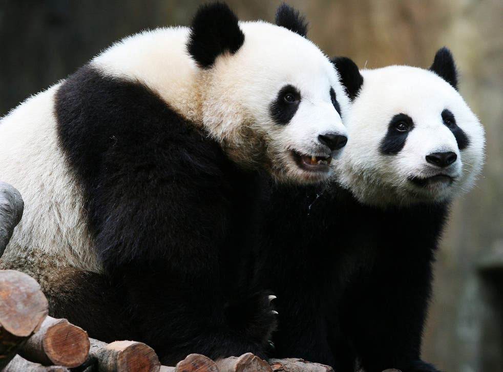 Ying Ying with Lok Lok, who also lives at Ocean Park in Hong Kong