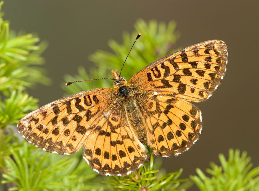 Arctic fritillaries are one of two species whose wings have shrunk as temperatures rise