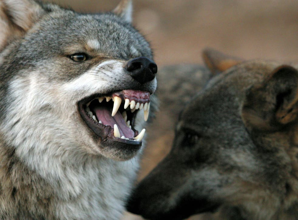 A wolf snarls at another wolf in Lobopark in Antequera, southern Spain December 26, 2004