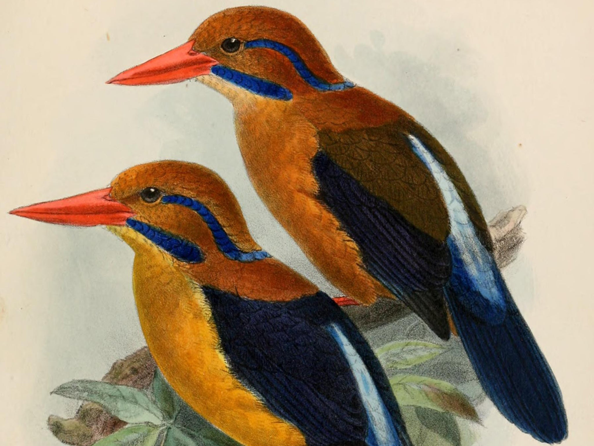 moustached kingfisher why a scientist killed a bird that hadn u0027t