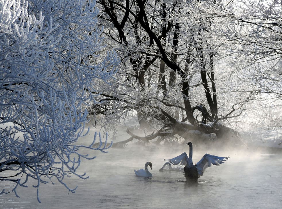Swans swim in a lake