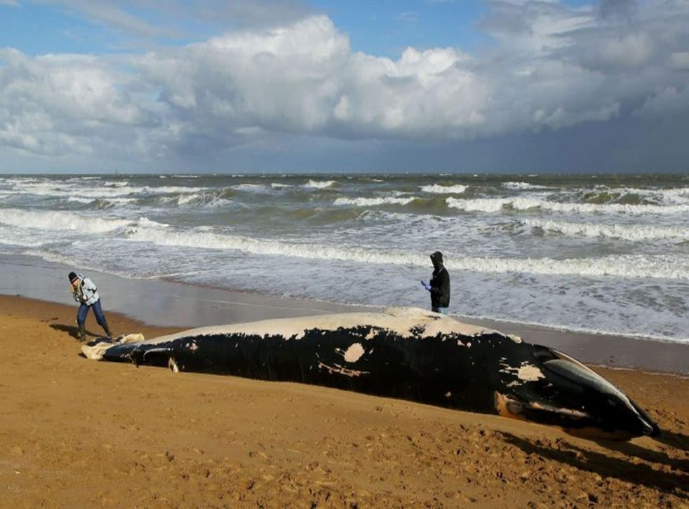 Marine experts at the scene where a mammal, believed to be a minke whale measuring around 36ft-long (11m), was discovered on the shore at Foreness Point, near Cliftonville, Kent