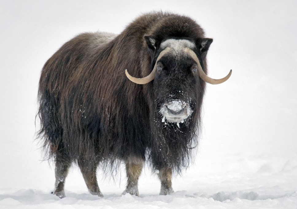 Image result for musk ox