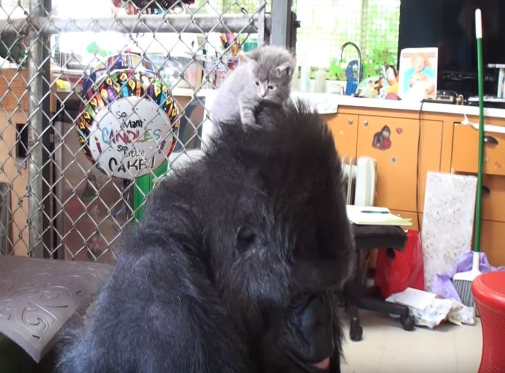 Koko the gorilla places Ms Gray the kitten on top of her head