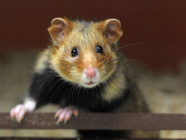 Police allegedly charged the man with animal cruelty and the surviving hamster was given to an animal shelter