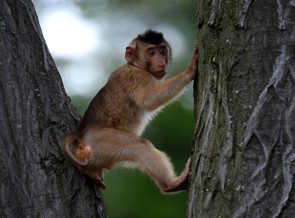 A pigtailed Macaque. The animals are used by farmers in Thailand to pics coconuts.