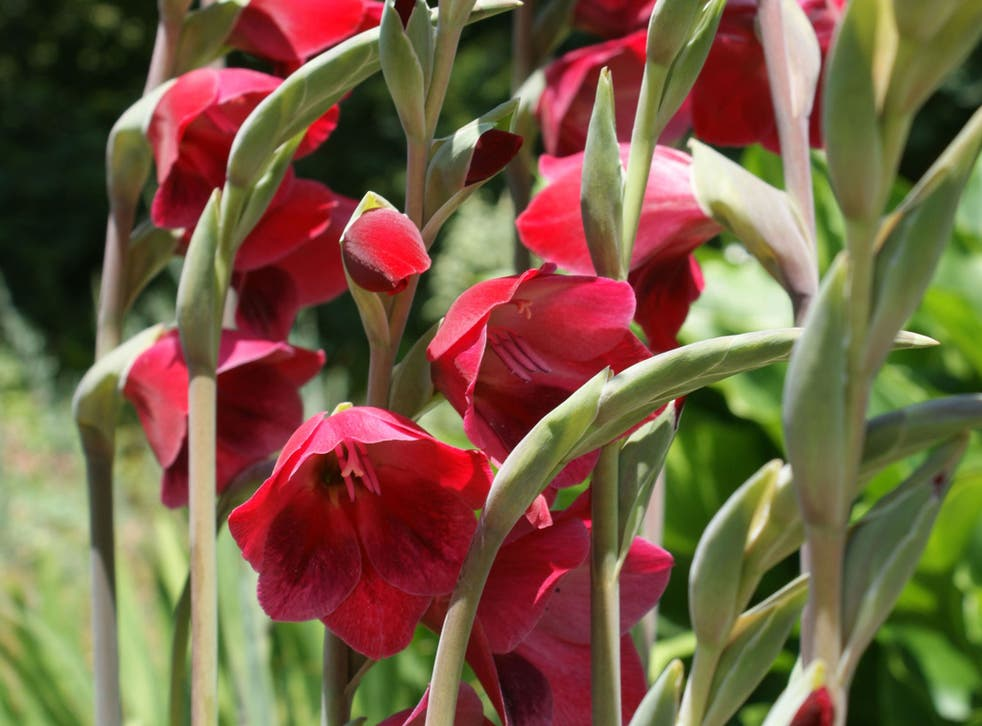 """Gladiolus """"Ruby"""" is just one of hundreds of varieties of what is sometimes known as sword lily"""